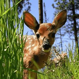 Dreams about deer or baby deer like Bambi
